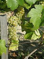 Wein aus der Gubener Region, Stadt Guben